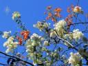Thorny bougainvillea