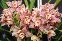 Cymbidium hybrid at the Pacific Orchid Expo
