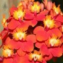 Epidendrum hybrid flowers