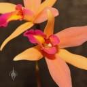 Laelia hybrid