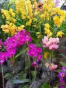 Phals, Cymbidiums, and Dendrobiums at the Pacific Orchid Expo