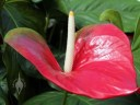 Anthurium in the Conservatory of Flowers