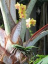 Phalaenopsis growing in silvery-green palm tree
