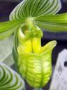 Paph venustum flower