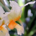 Stanhopea flower, side view