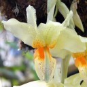 Stanhopea flower from front