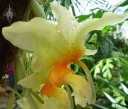 Stanhopea flower side view
