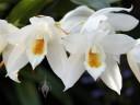 Coelogyne flowers