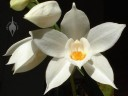Coelogyne flowers and buds