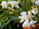 Coelogyne flowers and leaves