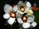 Sarcochilus flowers