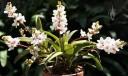 Sarcochilus plant in flower