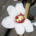 Sarcochilus flower
