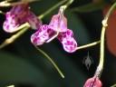 Masdevallia flower