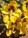 Cyrtochilum flowers