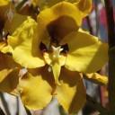 Cyrtochilum flower
