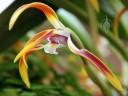 Maxillaria flower