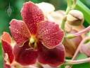 Vanda flower and bud