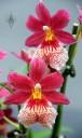 Vuylstekeara flowers