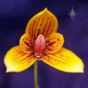 Mini Bulbophyllum species