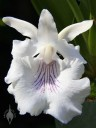 Cochleanthes flower