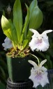 Cochleanthes flowers and leaves