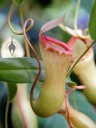 Pitcher plant with curvy stem