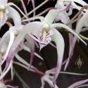 Fragrant Australian Dendrobium