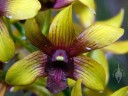 Green and purple Dendrobium flower