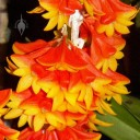 Dendrobium species with orange and yellow flowers