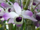 Cool growing Dendrobium that sheds leaves over winter