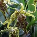Bizarre Dendrobium flower