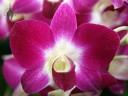 Phalaenopsis type Dendrobium