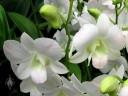 Phalaenopsis-type Dendrobium hybrid