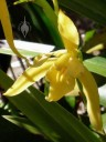 Yellow Cymbidium flower and leaves