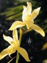 Yellow Cymbidium flowers