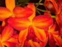 Red and orange Cattleya hybrid