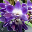 Dendrobium victoria-reginae 'Blues Brothers' HCC/AOS