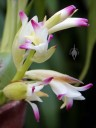 Coelia flowers