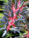 Large Bromeliad flower spike at Hawaii Tropical Botanical Garden