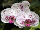 Harlequin Phal flowers