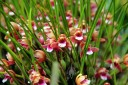 Maxillariella species at Hawaii Tropical Botanical Garden