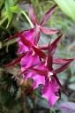 Odontoglossum hybrid