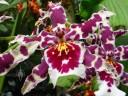 Odont flower
