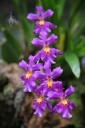 Purple orchid flowers at Hawaii Tropical Botanical Garden
