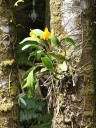Cattleya orchid attached to tree at Hawaii Tropical Botanical Garden