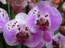 Phalaenopsis hybrid flowers