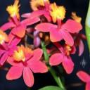 Epidendrum hybrid