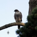 Hawk perched above the California Native Garden at Strybing Arborteum