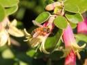 Honeybee in Golden Gate Park